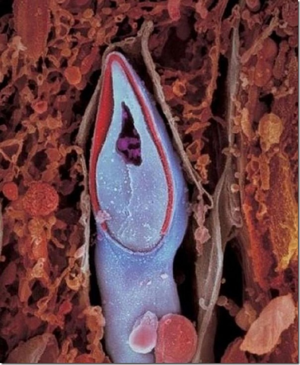 Картинки по запросу сперматозоид в разрезе